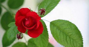 صورة خلفيات ورد احمر , صور ورد احمر رومانسي