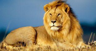 صور معلومات عن الاسد , معلومه و كلمه لنتعرف علي ملك الغابه