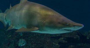 اكبر سمكه في العالم , سمكة الروكان القرش الحوت