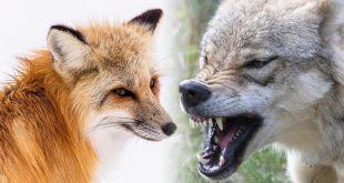 الفرق بين الثعلب والذئب , فروق اذا عرفتها مش هتتلغبط تاني بين الثعلب و الذئب