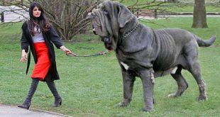 صور كلاب متوحشة , انواع الكلاب الشرسة
