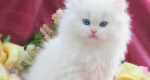 تفسير رؤية القطط الصغيرة في المنام لابن سيرين , دلاله وتفسير بن سيرين لحلم القطط الصغيرة