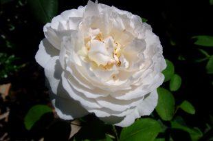 صورة اجمل زهره في العالم , اغرب الزهور الموجوده في العالم