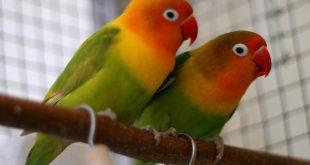 صور معلومات عن طيور الروز , عارفين مين هو طائر الحب