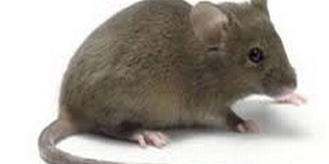 صور الفئران في المنام , الفار يطاردنى فى منزلى