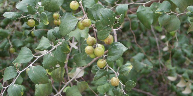 صور فوائد ورق السدر الاخضر , طرق الاستفادة من هذا النبات