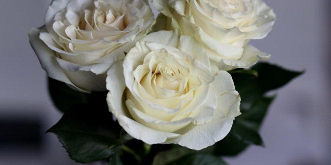 صور اجمل الورود البيضاء , ورود بيضاء نادرة لم اراها من قبل