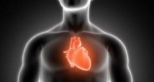صور القلب في جسم الانسان , معلومات عن اهم عضو في جسم الانسان