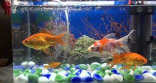 صور كيفية تربية الاسماك , اذا كنت من هواه تربيه السمك فى المنزل