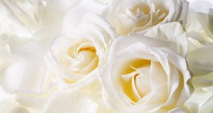 صورة كلام عن الورد الابيض , لغه الورود هى لغه العشاق
