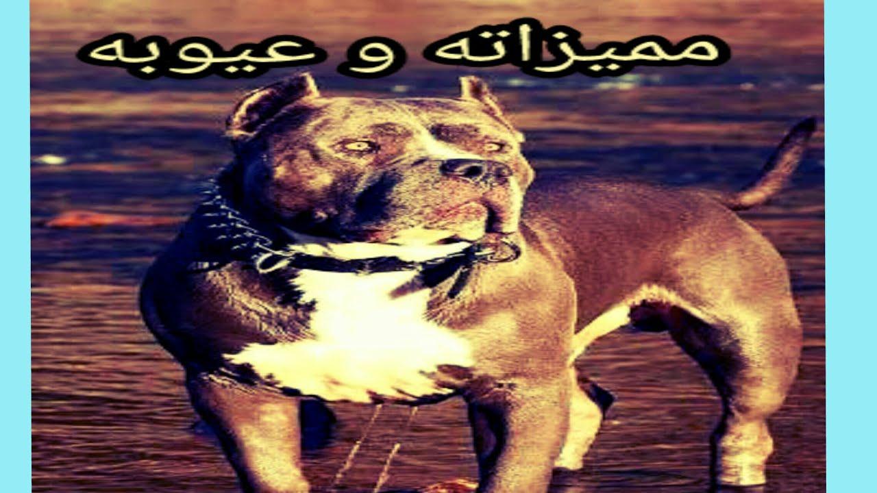 صورة معلومات عن كلاب البيتبول , اخطر الكلام عن كلاب البيتبول