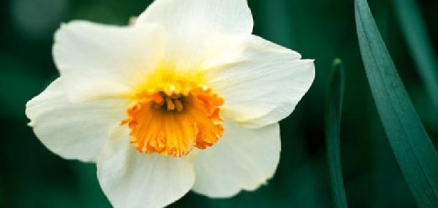 معلومات عن زهرة النرجس لكل محبى الزهور تعرف على النرجس افخم فخمه
