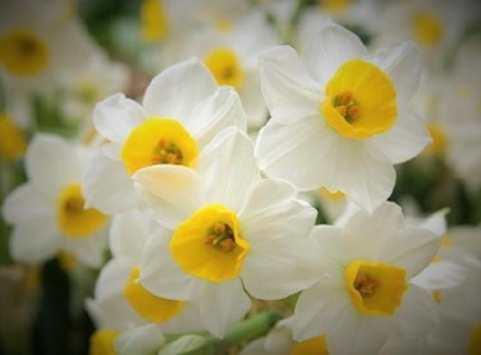 صورة معلومات عن زهرة النرجس , لكل محبى الزهور تعرف على النرجس