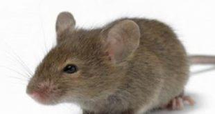 صورة كم تستغرق فترة حمل الفئران  ,  معلومات حول دورة حياة الفأر