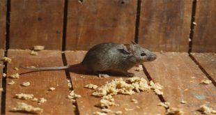 صورة التخلص من الفئران نهائيا ، من النهاردة مافيش فئران في بيتك بوصفات سهله جدا 3520 1 310x165